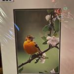 #139. John Gill Photography Mrs Oriole in the apple tree $35.00